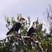 Dois falcãozinhos