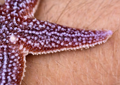 "Redish Sea Star • <a style=""font-size:0.8em;"" href=""http://www.flickr.com/photos/30765416@N06/5941838880/"" target=""_blank"">View on Flickr</a>"