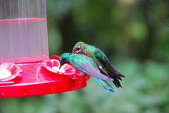 Hummingbirds (Brian Sloane) Tags: bird costarica hummingbird monteverde cloudforest monteverdecloudforest
