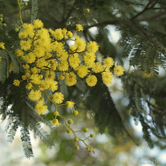Mimosas (Martha MGR) Tags: flowers nature yellow canon square rebel reflex natureza amarelo mimosas flres mmgr canoneosdigitalrebelxs marthamgr marthamgraymundo