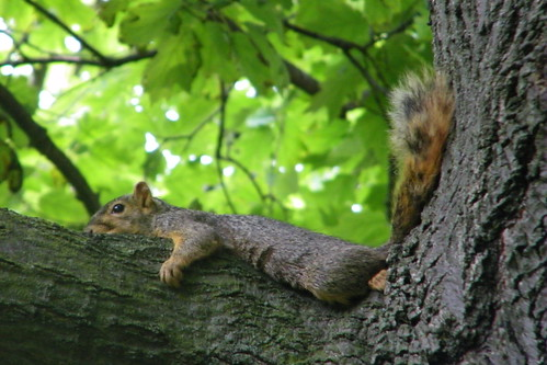 37/365/1132 (July 18, 2011) – Squirrel on a very hot day in Ann Arbor (University of Michigan)