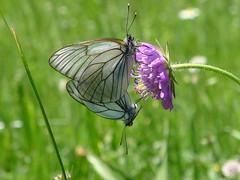 Baumweissling Black-veined White (Aah-Yeah) Tags: white black butterfly bayern schmetterling achental paarung chiemgau aporia crataegi tagfalter baumweissling marquartstein weined