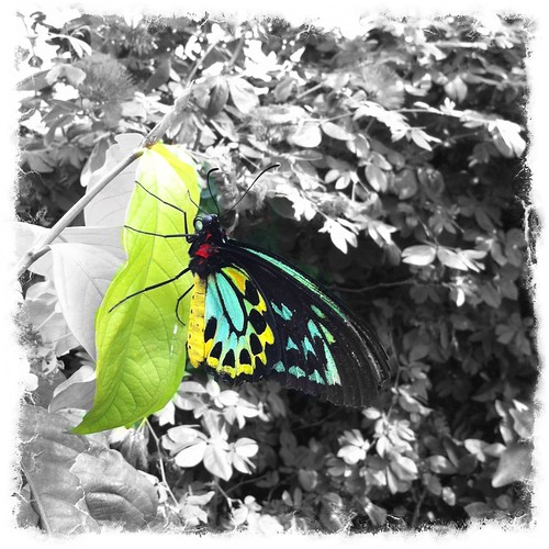 Haven Butterfly