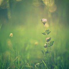 precious (untiefen) Tags: blue sun sunlight flower berlin green beautiful grass leaves canon 50mm sonnenuntergang blossom bokeh sommer meadow wiese gras grün blatt blüte wald 50mmf14 gegenlicht shallowdof citynature 50d 055prob canoneos50d offenblende blumenundpflanzen untiefen frühblüter
