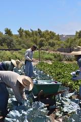 Cabbage Harvest (Suzies Farm) Tags: vegetables sandiego farm seasonal cabbage fields local organic csa purplecabbage suziesfarm organicfarminginsandiego