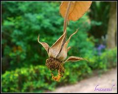 MARCHITA (bruixazul de vuelta al ruedo!) Tags: naturaleza flor jardin rosa verano calor marchita conventdesantjeroni