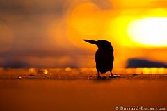 Kingfisher Silhouette (Burrard-Lucas Wildlife Photography) Tags: bird beach silhouette kingfisher madagascar malachite