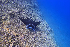 manta ray swimming (bluewavechris) Tags: ocean life sea nature water animal coral swim canon hawaii marine ray underwater snorkel wildlife dive maui reef creature manta 1022 t1i