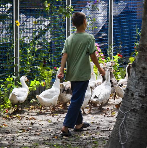 Tending the geese