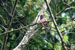 Costa Rica - Rainforest and River Tour (theducks) Tags: bird eleganttrogon