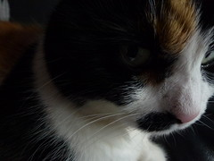 Angel (hannah5567576) Tags: white black green cat dark nose ginger eyes pin sad hole smudge tortoiseshell calico tortie patch scratch stripy darkened