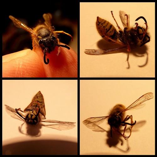 Common Wasp, Vespula vulgaris by kcm76