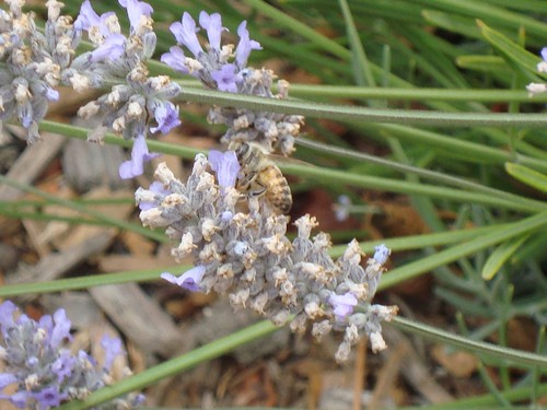 Honey bees pollinate the lavendar plants
