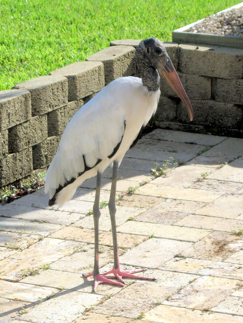 Wood Stork on patio 20110731
