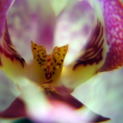 Détail d'une orchidée, Switzerland (Airflore) Tags: red orchid flower macro rot fleur rose rouge switzerland florence flickr suisse orchidee weiss blanc 2011 flickrunitedaward airflore