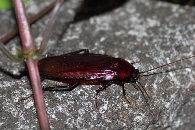 ゴキブリの生態・ゴキブリの種類と特徴|海外/日本・ゴキブリへの対処法