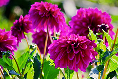 Dahlias (* Fred T *) Tags: pink dahlia flowers summer flower holland nature netherlands closeup purple nederland natuur zomer fred bloemen dahlias paars bloem gelderland fredt madfred