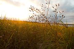 Forever Longing the Golden Sunsets (Louis Abate) Tags: desktop sunset beach grass bar canon ma golden capecod background 5d hemisphere 2470mm