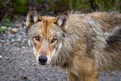 Wild Gray Wolf Assessing Me (jeff_a_goldberg) Tags: alaska denali graywolf tundrawildernesstour denalinationalparkandpreserve specanimal photocontesttnc11 stunningphotogpin