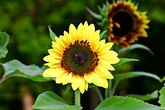 Aug022011_0931-New-Sunflower (©Delos Johnson) Tags: flowers canon garden sunflower topaz delos g9 detail4 denoise