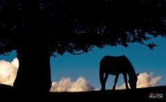 Pastando en libertad (Jabi Artaraz) Tags: horse naturaleza nature animal fauna forest caballo libertad amazing spain europa europe gorgeous natur sombra natura bosque cielo nubes zb silueta lovely bizkaia euskalherria euskadi fort basquecountry spanien haya baskenland foresta paysbasque biskaia yegua