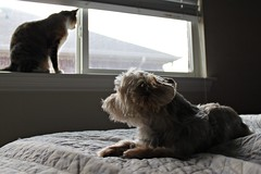 (Lauren Bost) Tags: blue light dog yorkie window floral digital cat canon eos rebel bed shadows natural tabby yorkshire tortoise shell highlights terrier zen tortie lhasa alayna opso torbie sooc t1i