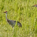 Sandhill Cranes-6288