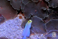 Yellowhead jawfish-2