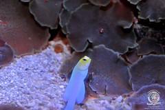 Yellowhead jawfish-2