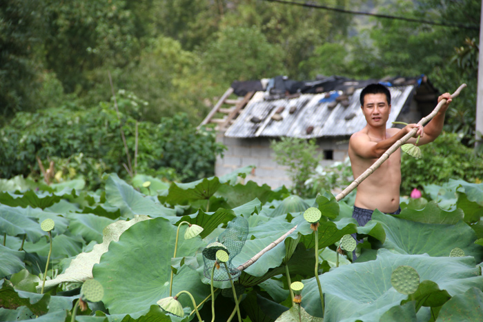 Picking Lotus Seeds