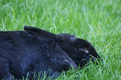 Mr Bob (Bunningham Palace) Tags: bunnies deardiaryseptember2011
