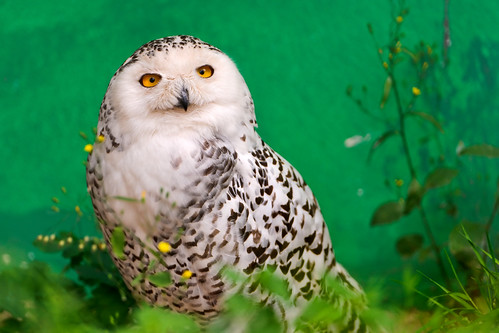 フリー写真素材, 動物, 鳥類, フクロウ, シロフクロウ,