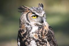 Pacific Northwest Raptor: Great Owl