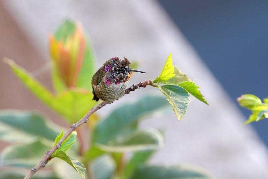 Anna's Hummingbird 100411-3
