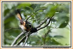 Paruline flamboyante mâle (Judith Lessard) Tags: birds warbler oiseaux americanredstart paruline parulineflamboyante