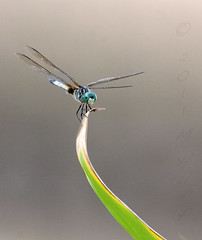 King of the Mountain (Zooman_723) Tags: dragonfly ngc greatphotographers bej natureplus platinumheartaward magicunicornverybest magicunicornmasterpiece mygearandme mygearandmepremium greaterphotographers greatestphotographers