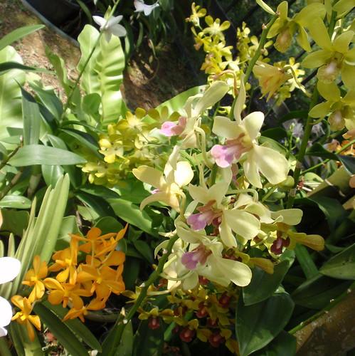 KL orchids 1