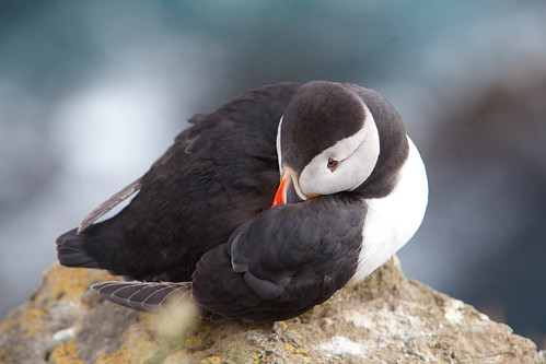 Puffin Self Snuggle