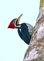 Pica pau de banda branca - Lineated woodpecker (Dryocopus lineatus) (claudio.marcio2) Tags: bird nature de banda wildlife natureza pssaro aves pica pau branca oiseaux lineatedwoodpecker dryocopusl