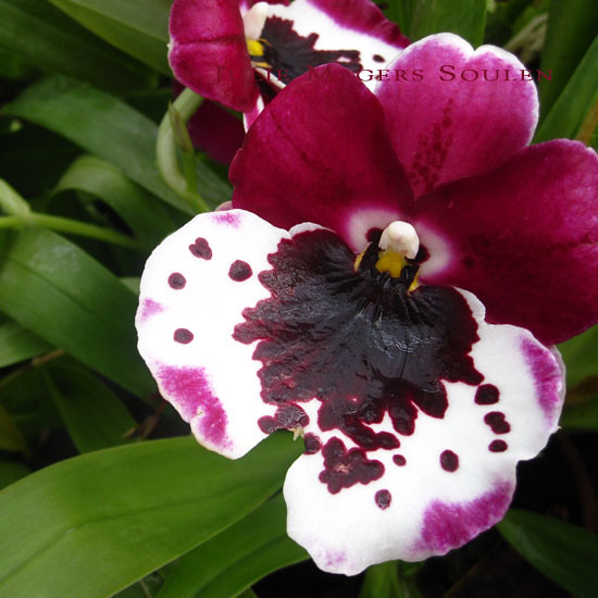 Black Beauty Orchid