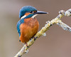 Yet Another (Andrew Haynes Wildlife Images) Tags: bird nature wildlife kingfisher worcestershire ajh2008
