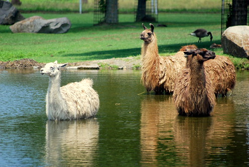 Llama Llama Where's Your Mama