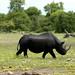 Rinoceronte preto, quase em extincao