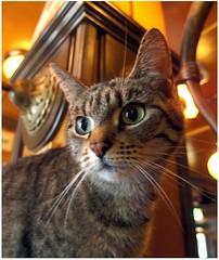 de kroegtijger (De Pintelier, Groningen) (Michiel Thomas) Tags: café pussy cafécat kat poes cafépoes cafékat kroegtijger pintelier cafe groningen 猫 貓 cat puss pussycat chat katze 고양이