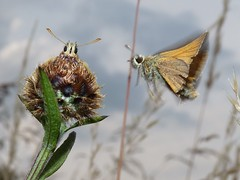 Small Skippers (ukstormchaser (A.k.a The Bug Whisperer)) Tags: uk animal animals butterfly fly wildlife small skipper butterflies flies milton keynes skippers