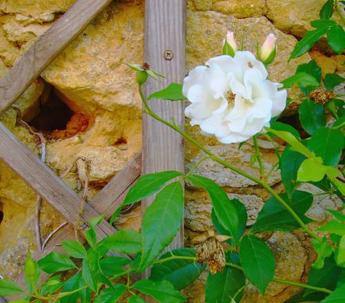 Rose on Lattice by Danalynn C