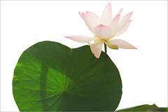 Lotus Flower - IMG_2980 (Bahman Farzad) Tags: flower macro yoga peace lotus relaxing peaceful meditation therapy lotusflower lotuspetal lotuspetals lotusflowerpetals stunningphotogpin lotusflowerpetal