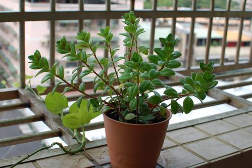 陽台上不知名小花,從愛買買回來的。