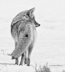 Black and White Coyote Profile - 1147bneusg (teagden) Tags: coyote park blackandwhite bw white snow black profile national april yellowstone ynp 2011 yellowstonepark jenniferhall