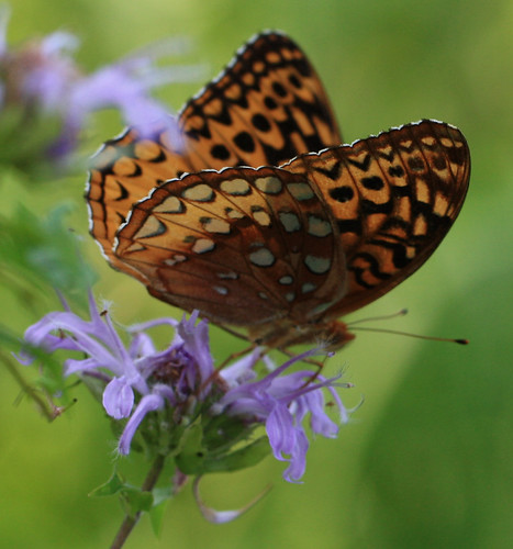 Brown Butterfly on Blazing Star